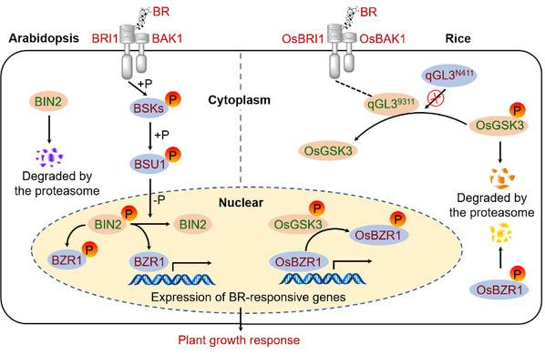 该研究在油菜素甾醇信号机制领域取得新进展